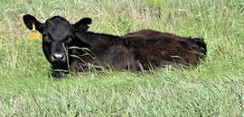 baby calf laying in grass